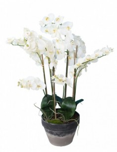 PHALAENOPSIS POTTED