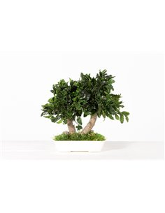 Konservierter Pittosporum Bonsai, ca. 25cm